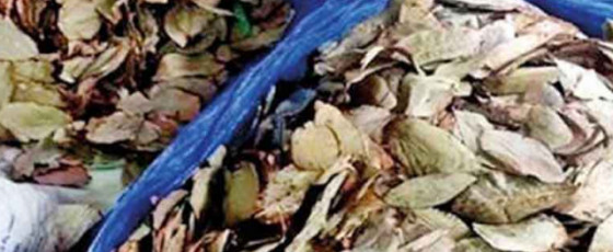 Confiscated Beedi leaves to be destroyed