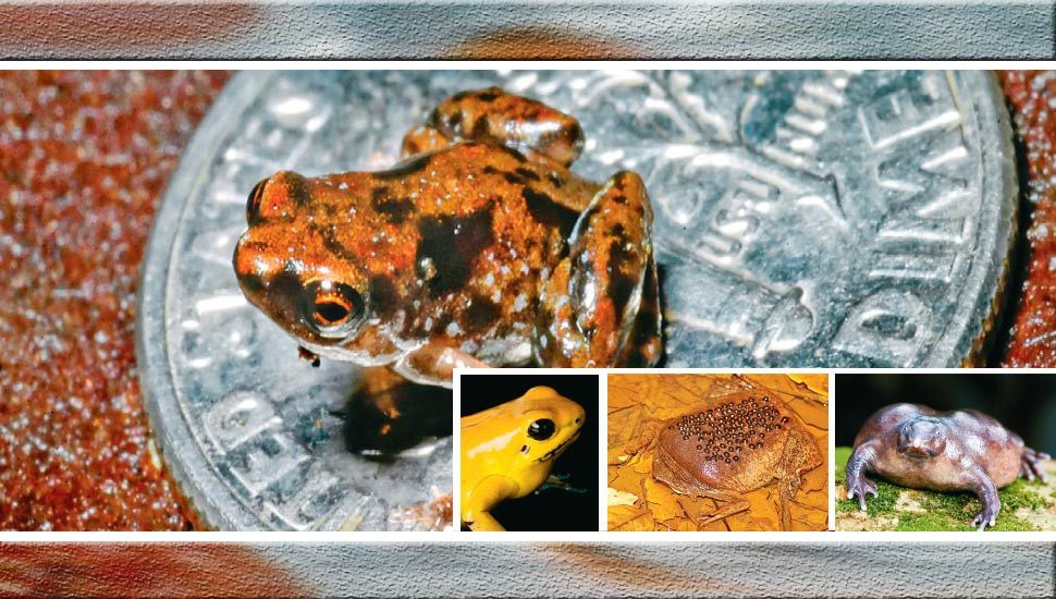 Freaky And Fascinating Frog Facts Ceylon Today