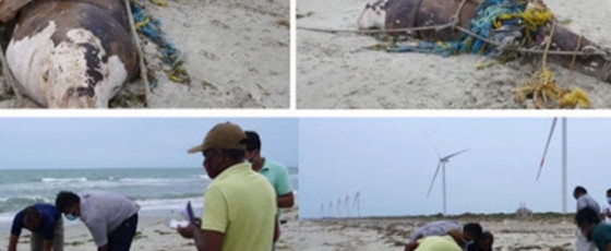 Dugong turns up dead on shore after escaping hunters