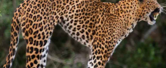 Three arrested for killing a leopard and selling its meat
