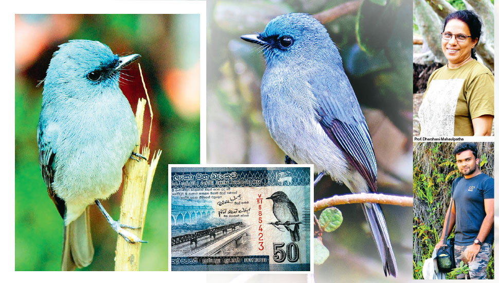 To save the  Dull-Blue Flycatcher