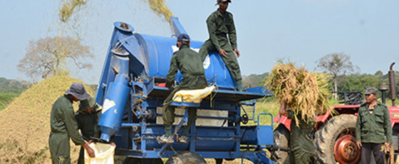 Army farms produce ample stocks of rice