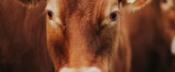EP Governor seeks report on cow population