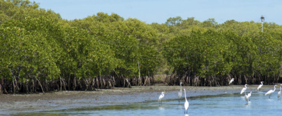 Urban Development Ministry to commence mangrove cultivation project