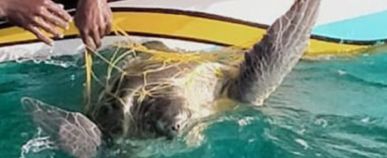 Navy releases 8 sea turtles entangled in fishing net