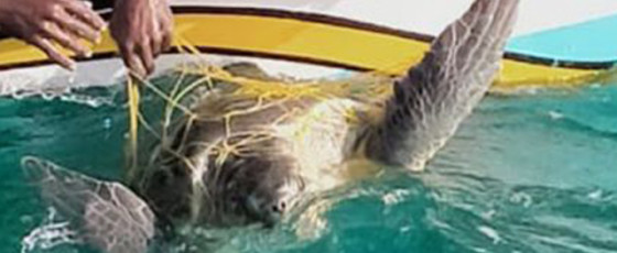 Navy rescue trapped sea turtles