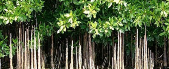 Reviving Sri Lanka's Mangroves