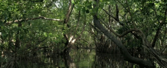 Project to plant 100,000 mangroves, to be initiated