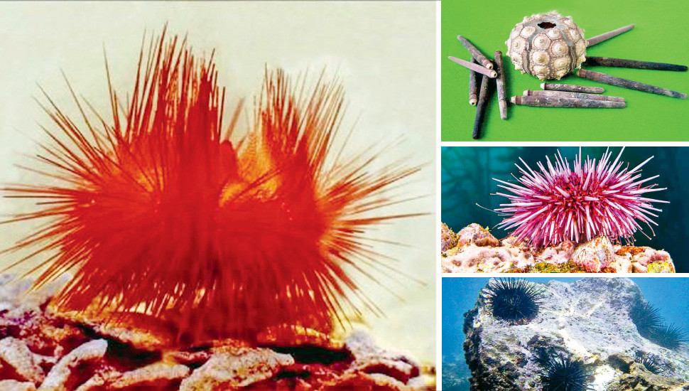 Discovering Sea Urchins