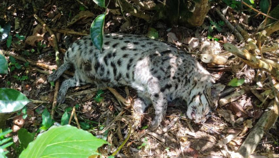 Remains of a fishing cat discovered in Kotagala tea estate