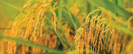 Agri Ministry to decide on rice price