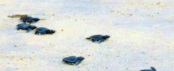 Seventy eight sea turtle hatchlings taste freedom