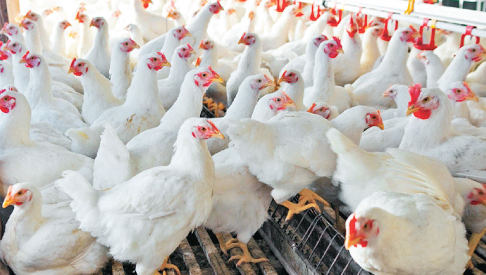 Poultry Farmers in a Quandary