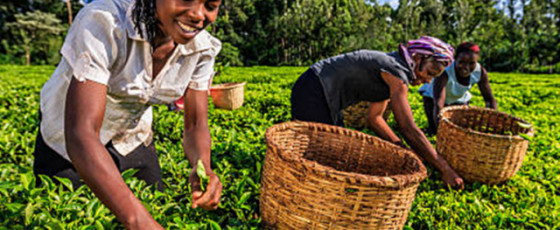 Climate Change Threatens Kenyan Tea