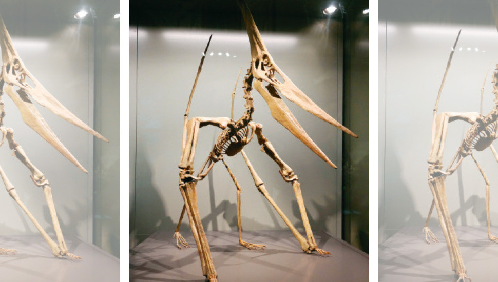 Pterodactyls Not a Flying Dinosaur