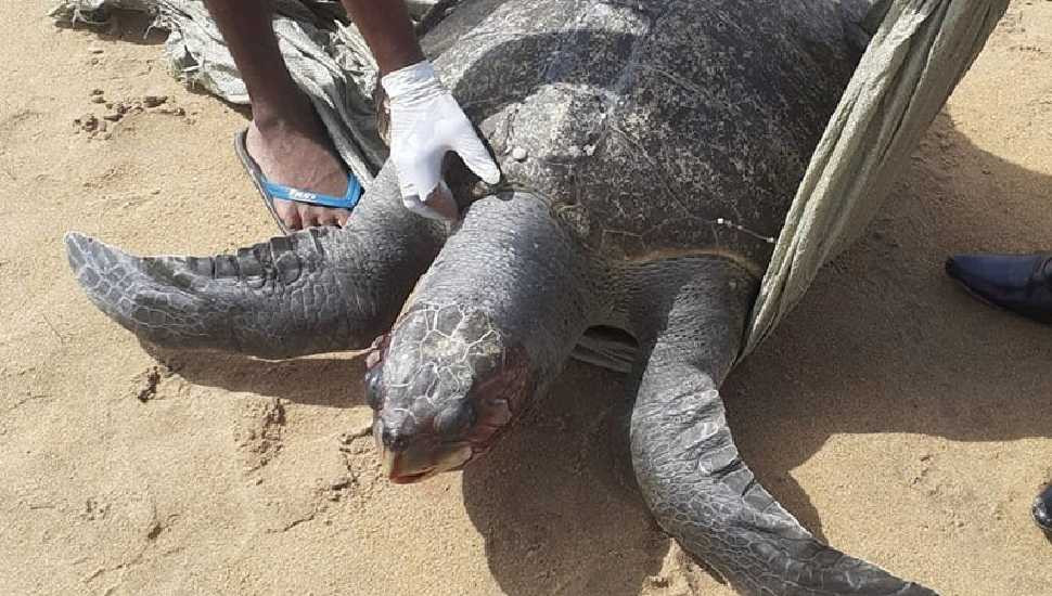 Another large turtle found dead on Dehiwala beach