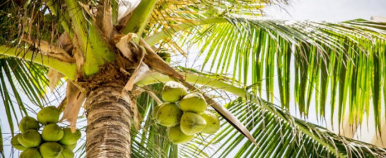 Felling of coconut trees without permission prohibited
