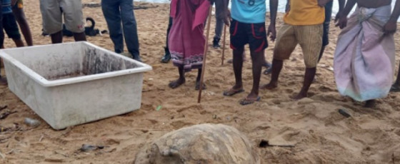 Carcasses of two more turtles washed ashore in Wadduwa