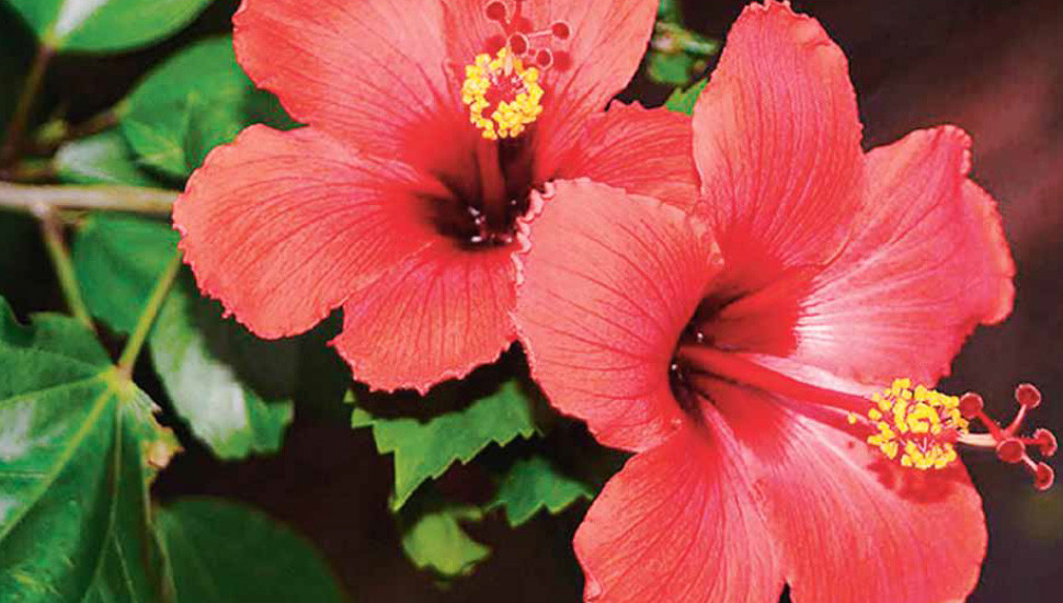 Hibiscus: Fashionistas of the Flower World