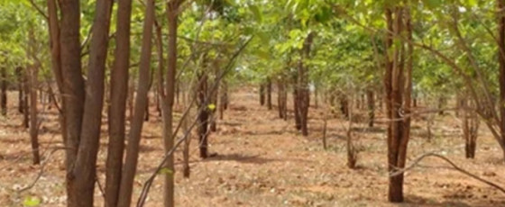 Project launched to revive red-sandalwood trees